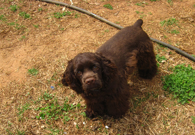brown chocolate female akc cocker spaniel at cocker pup kennel www